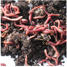 composting_worms