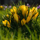 crocus_yellow_01-01
