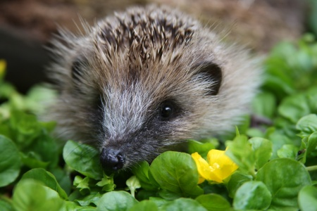 Animals That Hibernate List. animals such as hedgehogs,