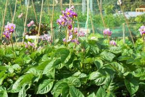 potatoes in flower