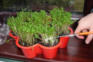 Mustard and Cress ready to eat