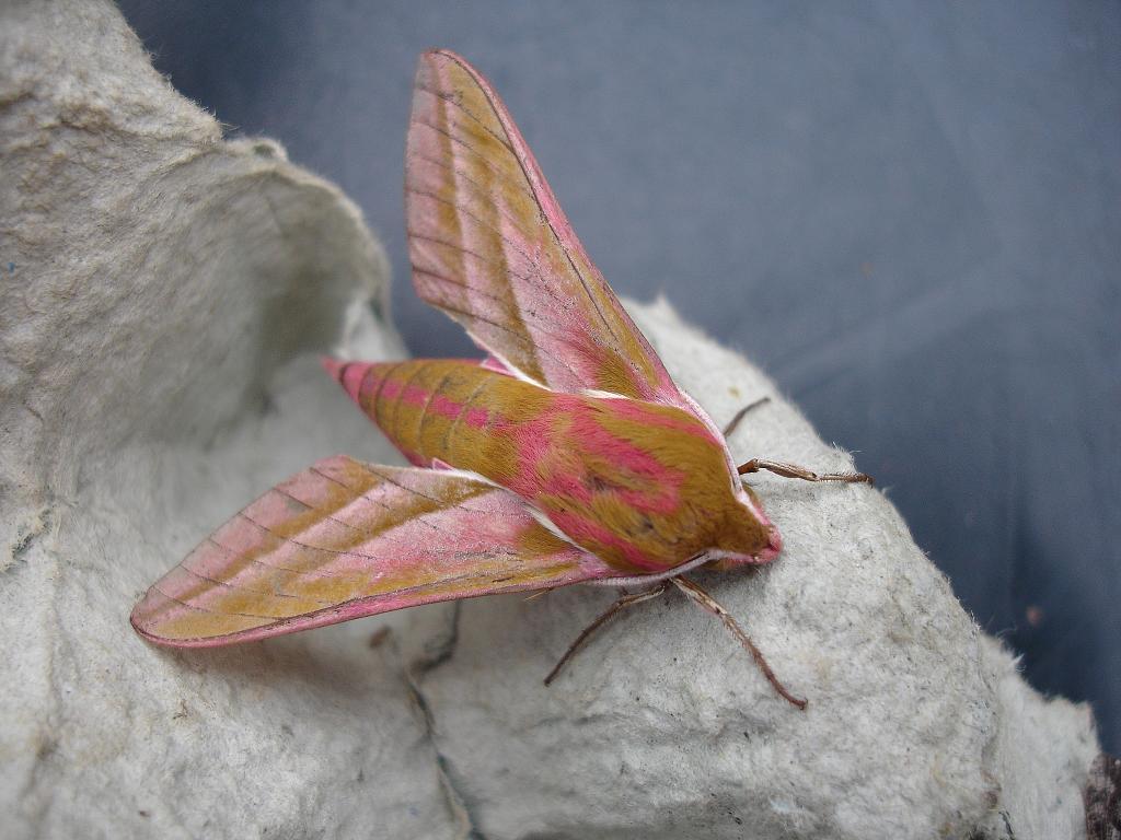 What Do Elephant Hawk Moths Eat Gardening With Children
