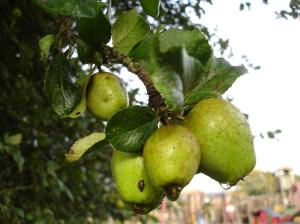 Crab Apples - church