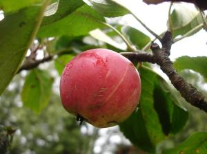 Johns Red Apple plot