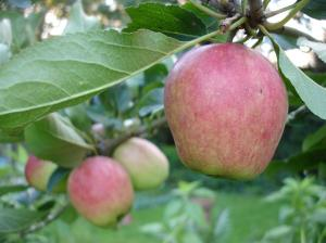 Rosy Apples