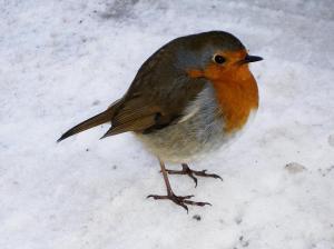 A 'Christmas' Robin