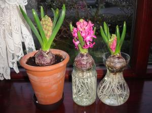 hyacinths flowering in pots