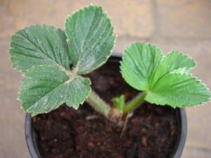 Young Strawberry plant