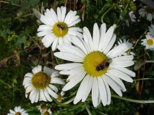 ox Eye Daisy 2