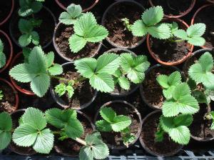 Young Strawberry plants