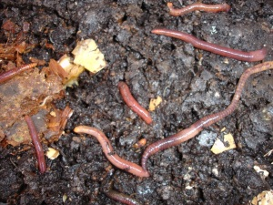 my compost worms