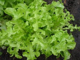 Frilly Lettuce