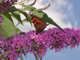 Buddleia and Small Tortoiseshell