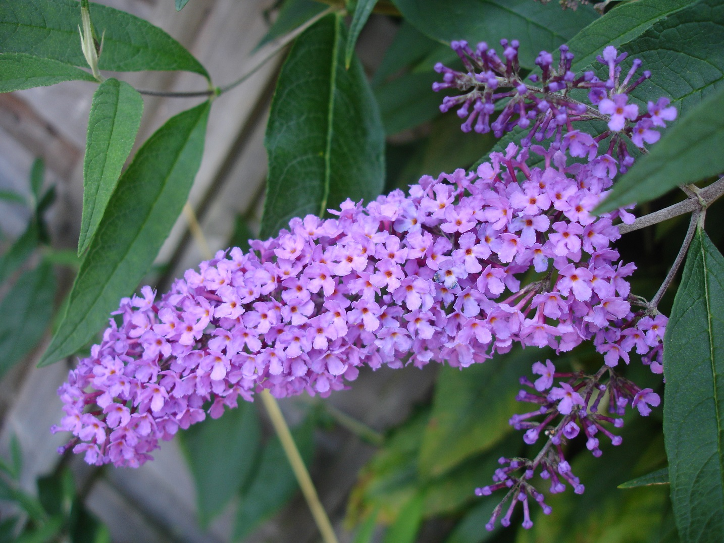 Lo And Behold Blue Chip Butterfly Bush