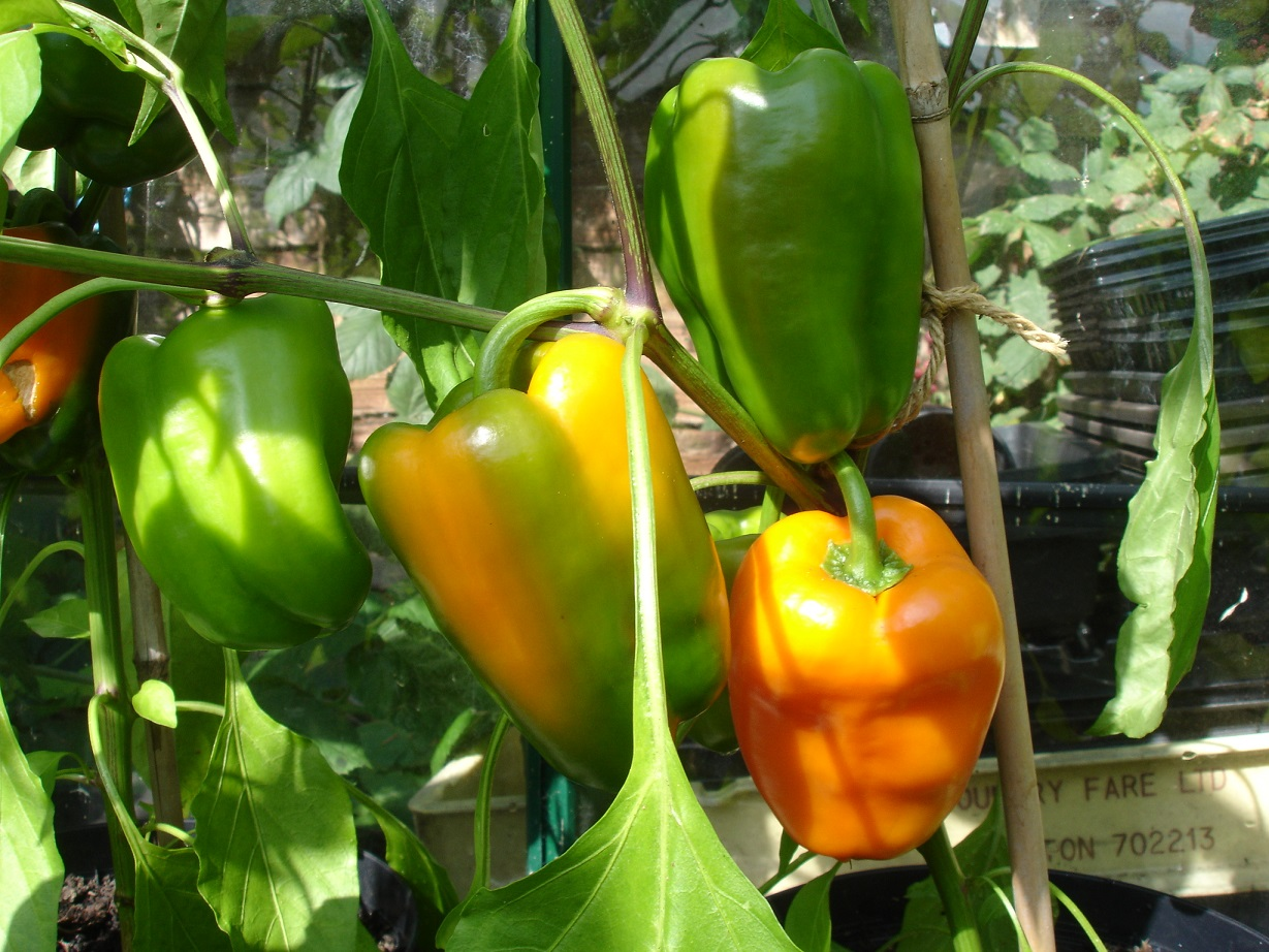 Cultivation of bell pepper