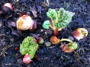 Rhubarb buds