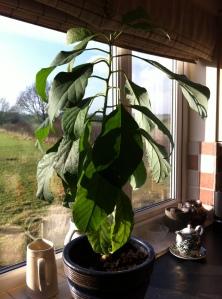 Avodado plant