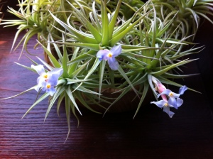 Airplant flowers