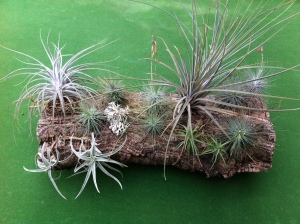 Airplants 2