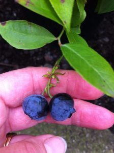 garden-blueberries